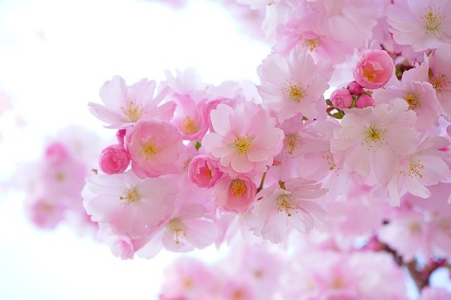 japanese-cherry-trees-324175_640