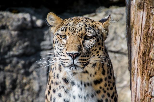 leopard-1700170_640